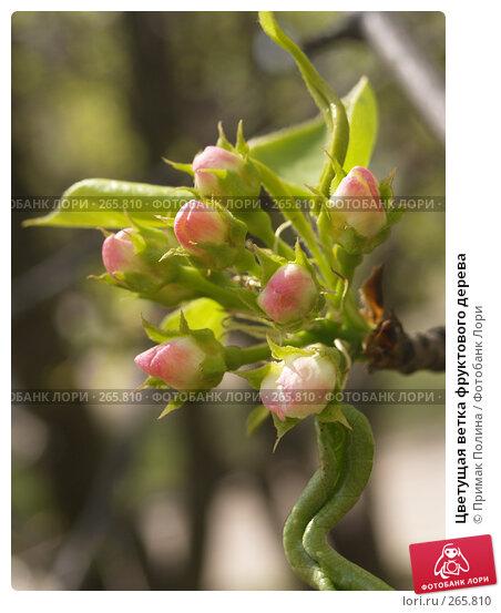 Цветущая ветка фруктового дерева, фото № 265810, снято 26 апреля 2008 г. (c) Примак Полина / Фотобанк Лори