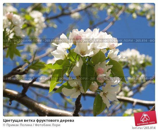 Цветущая ветка фруктового дерева, фото № 265814, снято 26 апреля 2008 г. (c) Примак Полина / Фотобанк Лори
