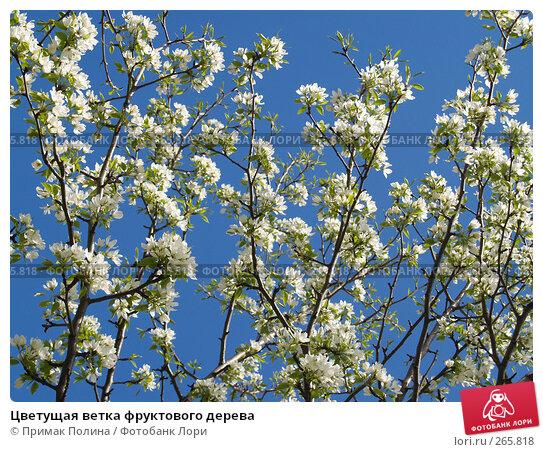 Купить «Цветущая ветка фруктового дерева», фото № 265818, снято 26 апреля 2008 г. (c) Примак Полина / Фотобанк Лори