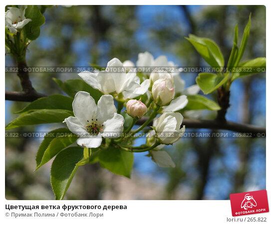 Цветущая ветка фруктового дерева, фото № 265822, снято 26 апреля 2008 г. (c) Примак Полина / Фотобанк Лори