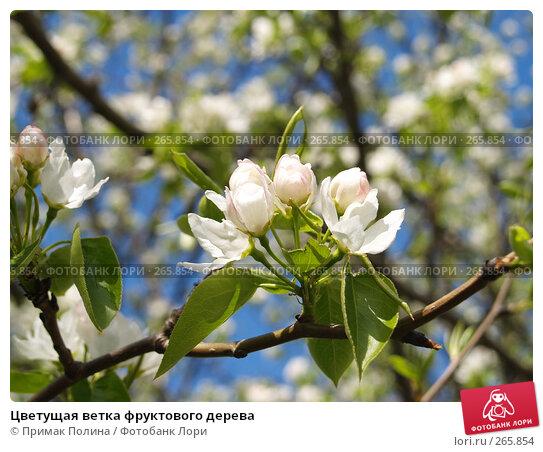 Цветущая ветка фруктового дерева, фото № 265854, снято 26 апреля 2008 г. (c) Примак Полина / Фотобанк Лори