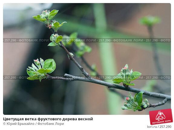 Цветущая ветка фруктового дерева весной, фото № 257290, снято 12 апреля 2008 г. (c) Юрий Брыкайло / Фотобанк Лори