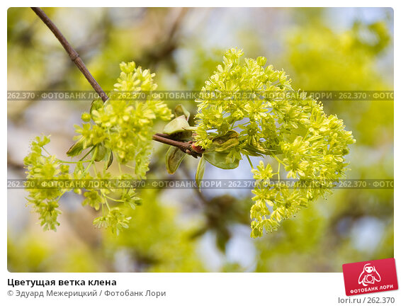 Цветущая ветка клена, фото № 262370, снято 22 апреля 2008 г. (c) Эдуард Межерицкий / Фотобанк Лори