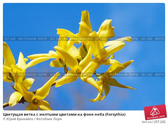 Цветущая ветка с желтыми цветами на фоне неба (Forsythia), фото № 257242, снято 11 апреля 2008 г. (c) Юрий Брыкайло / Фотобанк Лори