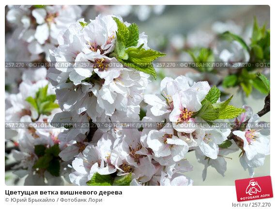 Купить «Цветущая ветка вишневого дерева», фото № 257270, снято 12 апреля 2008 г. (c) Юрий Брыкайло / Фотобанк Лори