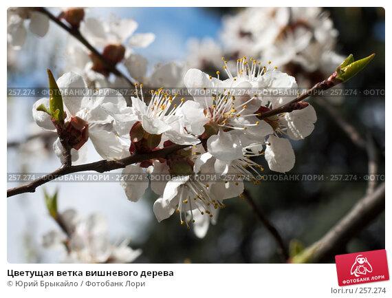Цветущая ветка вишневого дерева, фото № 257274, снято 12 апреля 2008 г. (c) Юрий Брыкайло / Фотобанк Лори