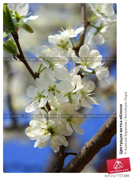 Цветущая ветка яблони, фото № 117686, снято 20 мая 2007 г. (c) Алексей Баринов / Фотобанк Лори