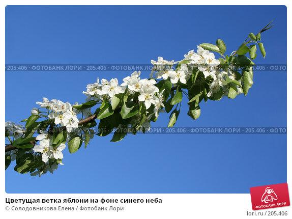 Купить «Цветущая ветка яблони на фоне синего неба», фото № 205406, снято 13 мая 2007 г. (c) Солодовникова Елена / Фотобанк Лори