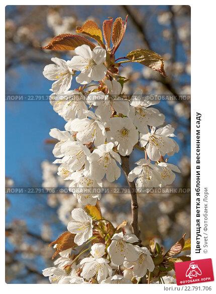 Купить «Цветущая ветка яблони в весеннем саду», эксклюзивное фото № 22791706, снято 6 мая 2016 г. (c) Svet / Фотобанк Лори