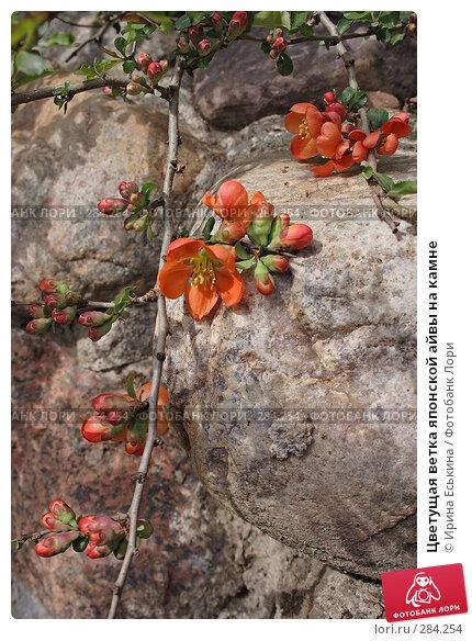 Купить «Цветущая ветка японской айвы на камне», фото № 284254, снято 10 мая 2008 г. (c) Ирина Еськина / Фотобанк Лори