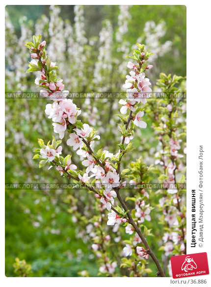 Купить «Цветущая вишня», эксклюзивное фото № 36886, снято 29 апреля 2007 г. (c) Давид Мзареулян / Фотобанк Лори