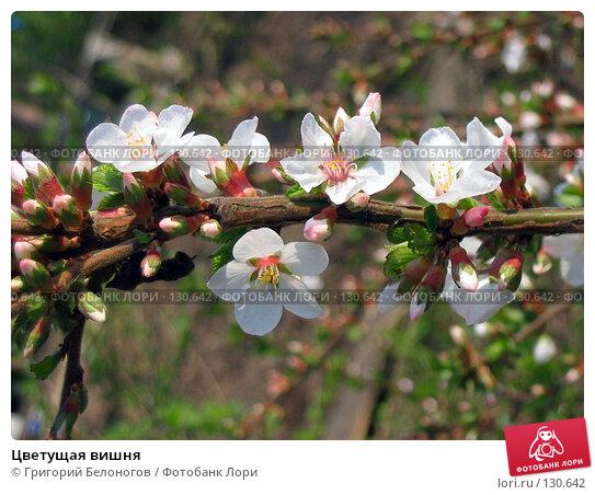 Купить «Цветущая вишня», фото № 130642, снято 24 мая 2006 г. (c) Григорий Белоногов / Фотобанк Лори