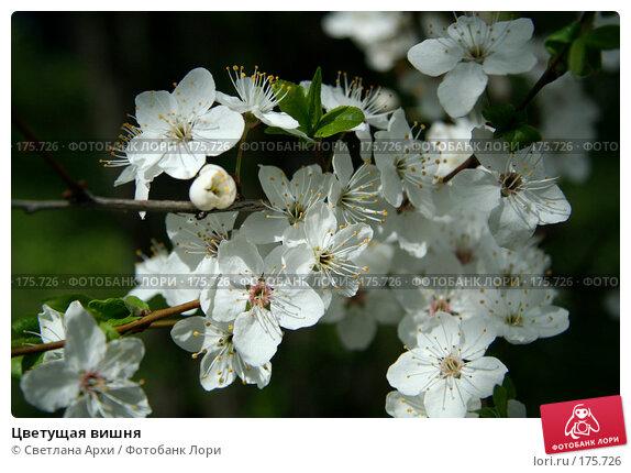 Купить «Цветущая вишня», фото № 175726, снято 29 апреля 2007 г. (c) Светлана Архи / Фотобанк Лори
