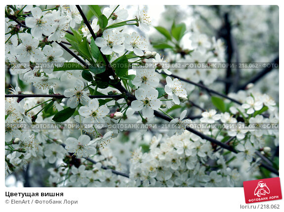 Купить «Цветущая вишня», фото № 218062, снято 24 апреля 2018 г. (c) ElenArt / Фотобанк Лори