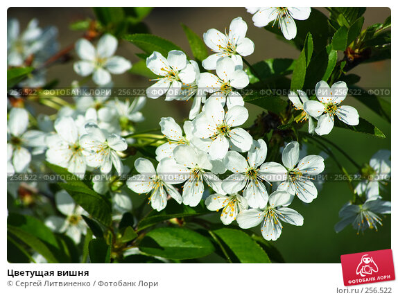 Купить «Цветущая вишня», фото № 256522, снято 19 апреля 2008 г. (c) Сергей Литвиненко / Фотобанк Лори