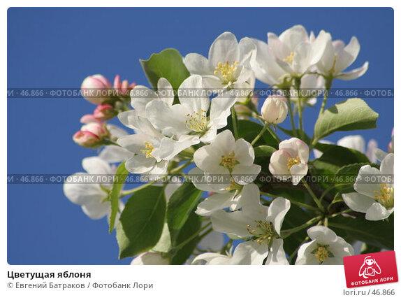 Купить «Цветущая яблоня», фото № 46866, снято 18 мая 2007 г. (c) Евгений Батраков / Фотобанк Лори