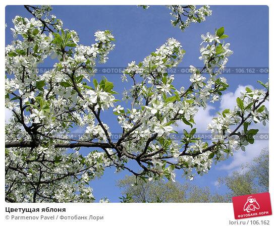 Цветущая яблоня, фото № 106162, снято 10 мая 2004 г. (c) Parmenov Pavel / Фотобанк Лори