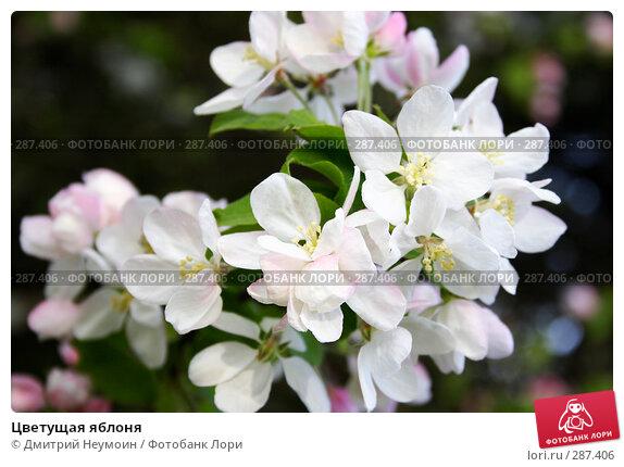 Цветущая яблоня, эксклюзивное фото № 287406, снято 22 апреля 2008 г. (c) Дмитрий Неумоин / Фотобанк Лори