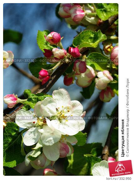 Цветущая яблоня, фото № 332950, снято 18 мая 2008 г. (c) Саломатников Владимир / Фотобанк Лори