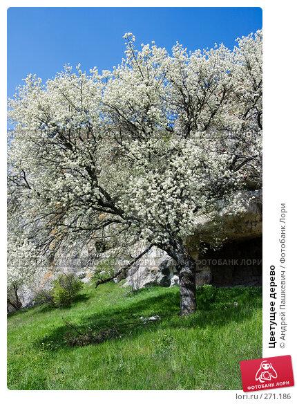 Цветущее дерево, фото № 271186, снято 28 апреля 2007 г. (c) Андрей Пашкевич / Фотобанк Лори