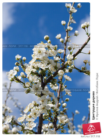 Купить «Цветущее дерево», фото № 317118, снято 27 марта 2008 г. (c) Фролов Андрей / Фотобанк Лори