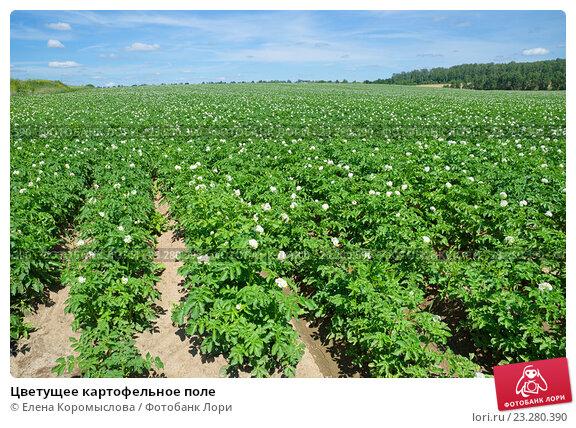 Купить «Цветущее картофельное поле», фото № 23280390, снято 17 июля 2016 г. (c) Елена Коромыслова / Фотобанк Лори