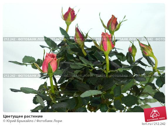 Цветущее растение, фото № 212242, снято 22 февраля 2008 г. (c) Юрий Брыкайло / Фотобанк Лори