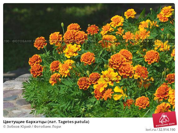 Цветущие бархатцы (лат. Tagetes patula) Стоковое фото, фотограф Зобков Георгий / Фотобанк Лори