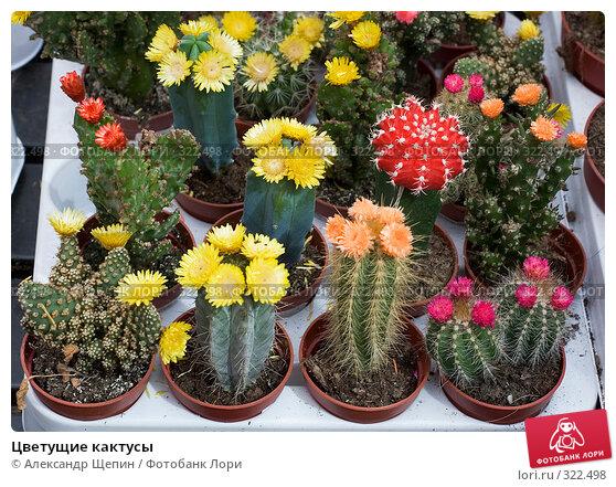Купить «Цветущие кактусы», эксклюзивное фото № 322498, снято 8 июня 2008 г. (c) Александр Щепин / Фотобанк Лори