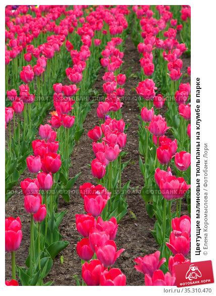 Цветущие малиновые тюльпаны на клумбе в парке. Стоковое фото, фотограф Елена Коромыслова / Фотобанк Лори