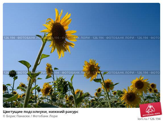 Цветущие подсолнухи, нижний ракурс, фото № 126194, снято 18 июля 2007 г. (c) Борис Панасюк / Фотобанк Лори