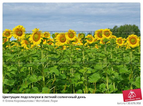Купить «Цветущие подсолнухи в летний солнечный день», фото № 30676958, снято 15 августа 2016 г. (c) Елена Коромыслова / Фотобанк Лори