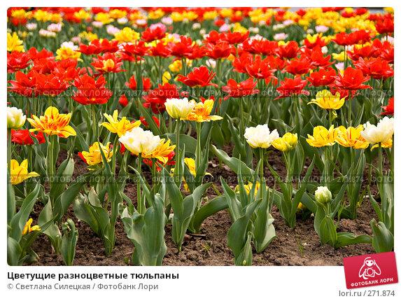 Купить «Цветущие разноцветные тюльпаны», фото № 271874, снято 2 мая 2008 г. (c) Светлана Силецкая / Фотобанк Лори