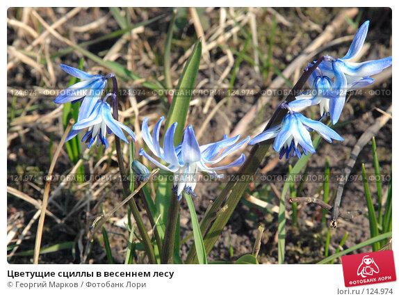 Цветущие сциллы в весеннем лесу, фото № 124974, снято 29 апреля 2006 г. (c) Георгий Марков / Фотобанк Лори