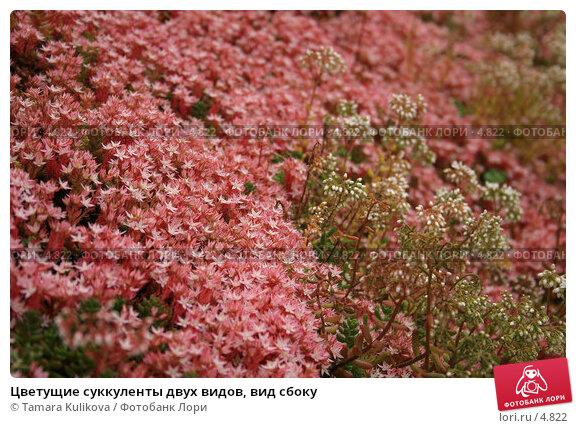 Купить «Цветущие суккуленты двух видов, вид сбоку», фото № 4822, снято 19 июня 2006 г. (c) Tamara Kulikova / Фотобанк Лори