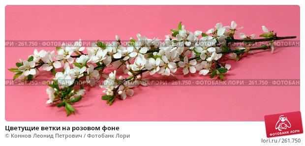 Цветущие ветки на розовом фоне, фото № 261750, снято 24 апреля 2008 г. (c) Коннов Леонид Петрович / Фотобанк Лори