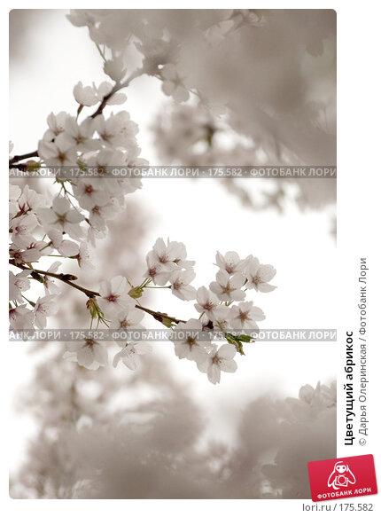 Цветущий абрикос, фото № 175582, снято 12 апреля 2007 г. (c) Дарья Олеринская / Фотобанк Лори