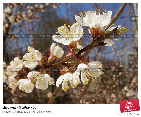 Купить «Цветущий абрикос», фото № 250194, снято 8 апреля 2008 г. (c) Елена Гордеева / Фотобанк Лори
