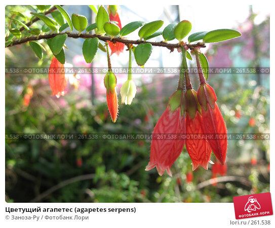 Купить «Цветущий агапетес (agapetes serpens)», фото № 261538, снято 12 апреля 2008 г. (c) Заноза-Ру / Фотобанк Лори