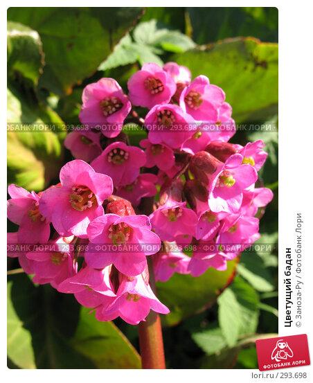 Купить «Цветущий бадан», фото № 293698, снято 17 мая 2008 г. (c) Заноза-Ру / Фотобанк Лори