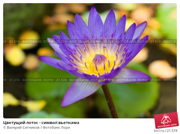 Купить «Цветущий лотос - символ вьетнама», фото № 21574, снято 12 февраля 2007 г. (c) Валерий Ситников / Фотобанк Лори