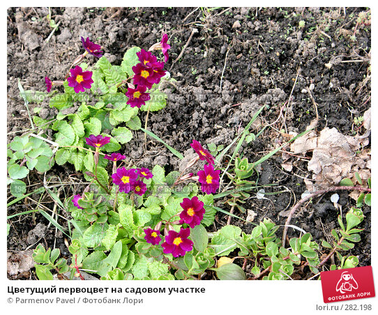 Цветущий первоцвет на садовом участке, фото № 282198, снято 10 мая 2008 г. (c) Parmenov Pavel / Фотобанк Лори