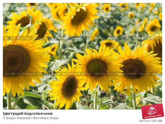 Цветущий подсолнечник, фото № 126186, снято 18 июля 2007 г. (c) Борис Панасюк / Фотобанк Лори