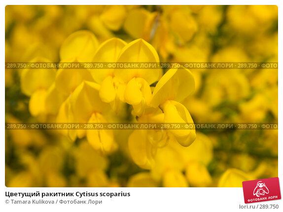 Купить «Цветущий ракитник Cytisus scoparius», фото № 289750, снято 18 мая 2008 г. (c) Tamara Kulikova / Фотобанк Лори