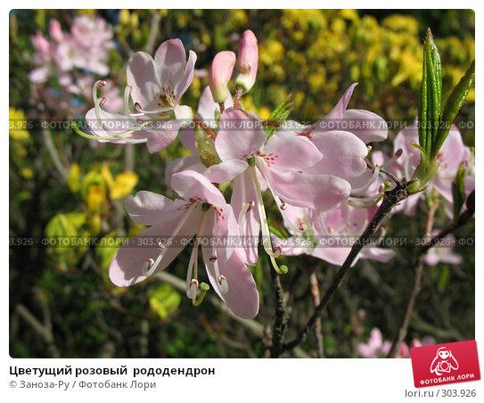 Цветущий розовый  рододендрон, фото № 303926, снято 24 мая 2008 г. (c) Заноза-Ру / Фотобанк Лори