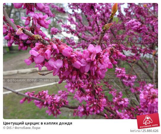 Купить «Цветущий церцис в каплях дождя», фото № 25880626, снято 20 марта 2017 г. (c) DiS / Фотобанк Лори