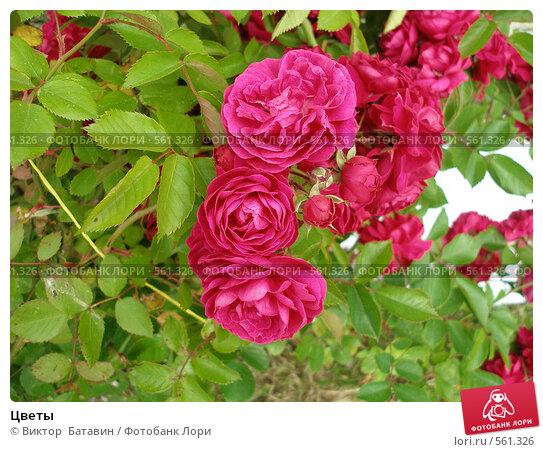 Цветы. Стоковое фото, фотограф Виктор  Батавин / Фотобанк Лори
