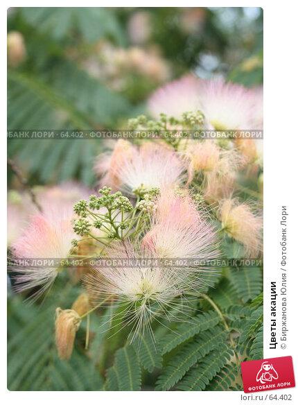 Цветы акации, фото № 64402, снято 30 июня 2007 г. (c) Биржанова Юлия / Фотобанк Лори