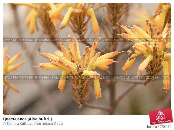 Цветы алоэ (Aloe buhrii), фото № 272114, снято 4 мая 2008 г. (c) Tamara Kulikova / Фотобанк Лори