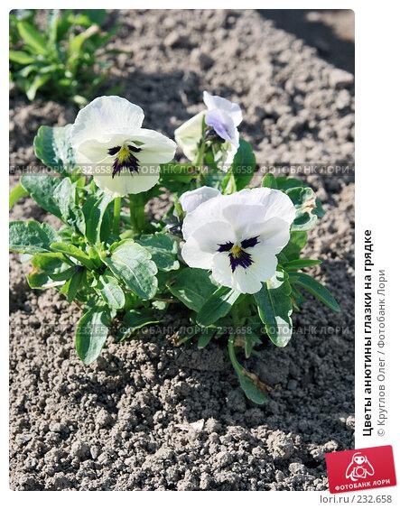 Цветы анютины глазки на грядке, фото № 232658, снято 30 мая 2007 г. (c) Круглов Олег / Фотобанк Лори